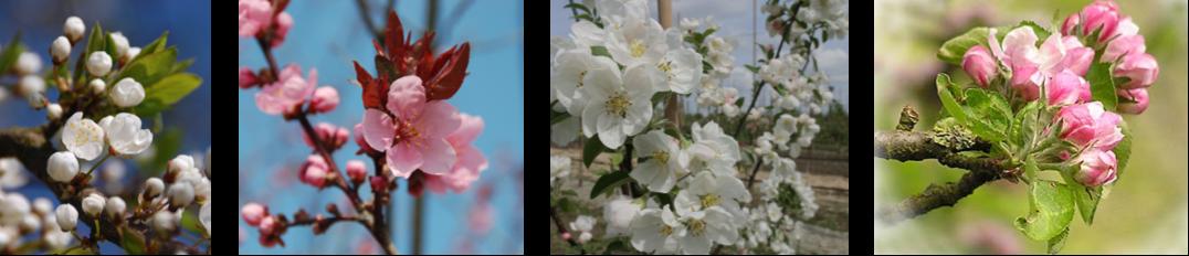 Frugttraer i blomst
